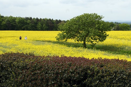 A sea of yellow
