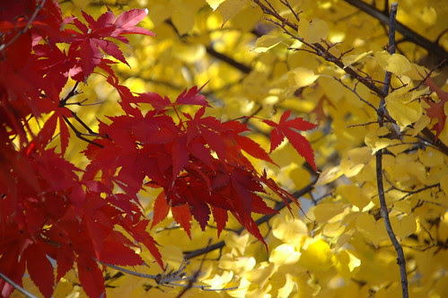 Japanese Maple Leaves, P.S. 139, Beverley Square West, Brooklyn