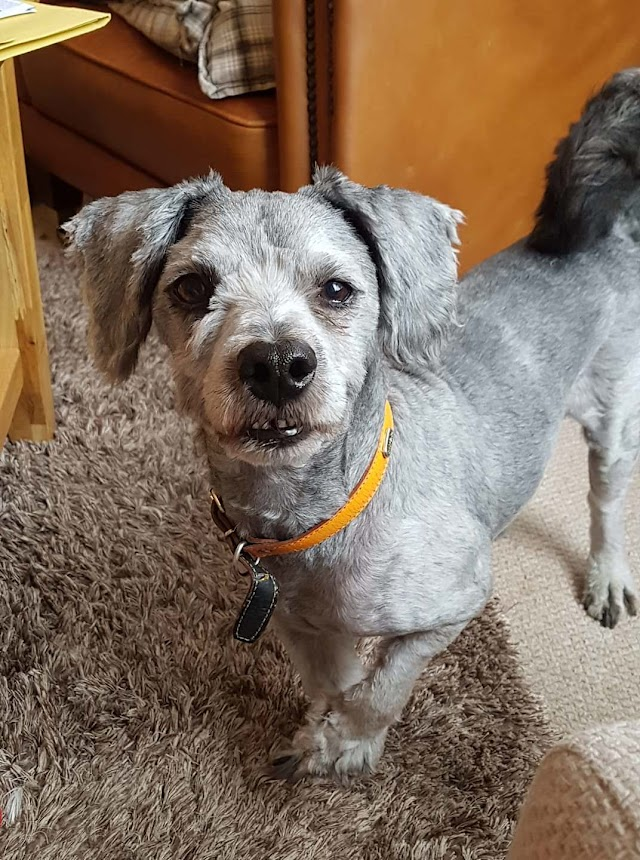 Cuify – 6 year old female Lhasa Apso Cross