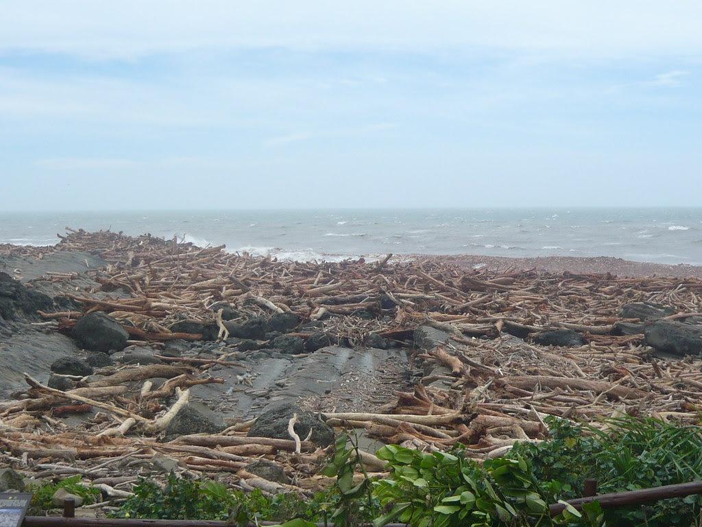 八八風災後,隨著海流一直向北移動的漂流木