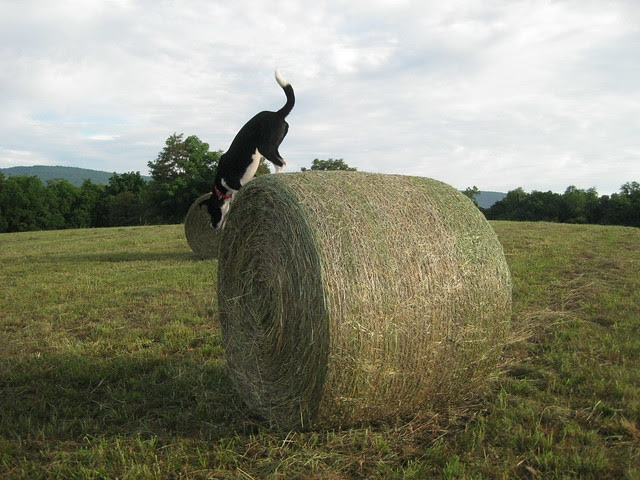 birdie and big round bales 6