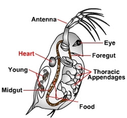 Daphnia Heart Rate Aysha Eleni Cheretakis