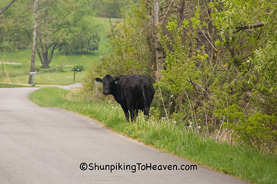 Escaped Cow in Road, Casey County, Kentucky