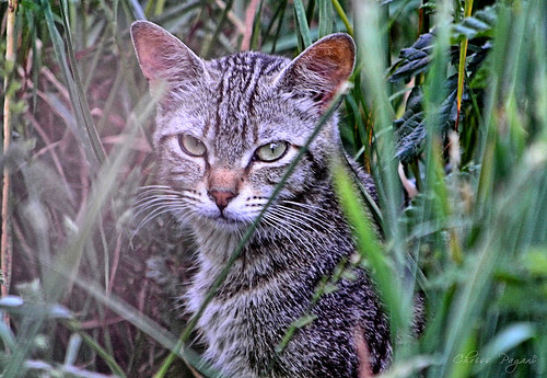 A Tabby In The Grass