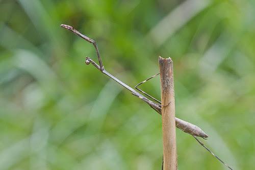 Euchomenella sp., Malaysian Long Neck Mantis/Giraffe Mantis IMG_7579 copy
