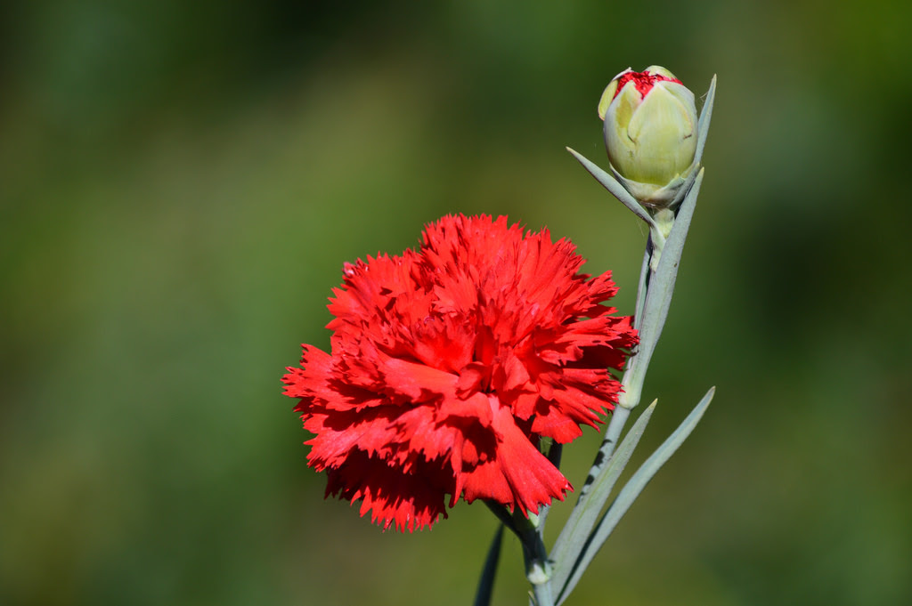 Red Carnation The National Flower Of Spain