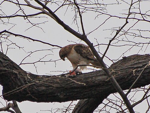 Red-Tailed Hawk at Central Park Great Hill