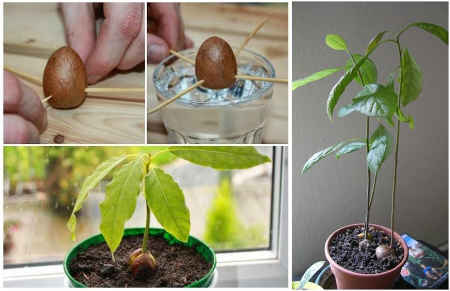 how to grow avocado from seed wonderfuldiy