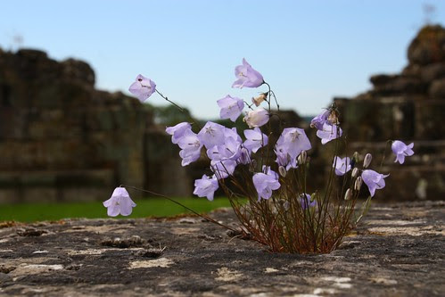 Harebells at Bylands Abbey