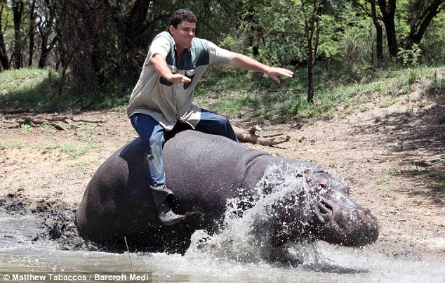 Balancing act: Marius manages to stay on Humphrey's back as he cadges a lift across the river with the tame hipp at his farm in Free State, South Africa