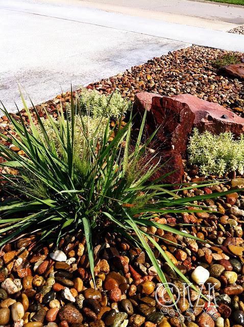IMG_0525 Purple Love Grass