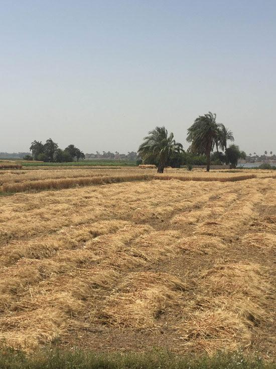 محصول القمح باسيوط (4)