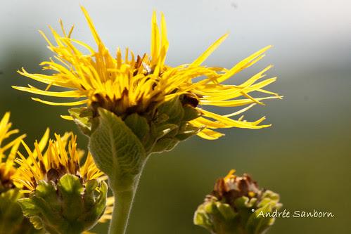 Elecampe (Inula helenium)-2.jpg