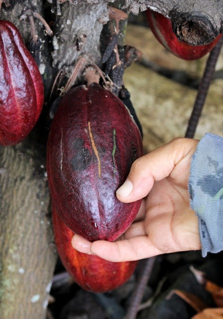 Cutting cocoa pods to check ripeness
