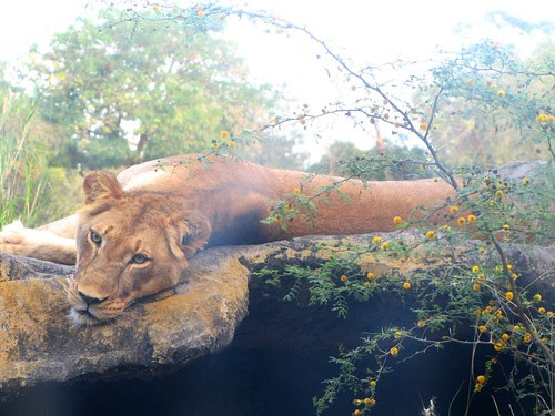 IMG_7182a_African_Lioness