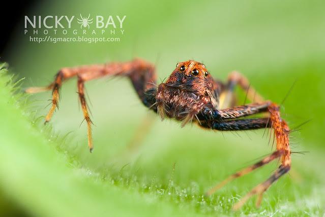 Lynx Spider (Oxyopidae) - DSC_4459