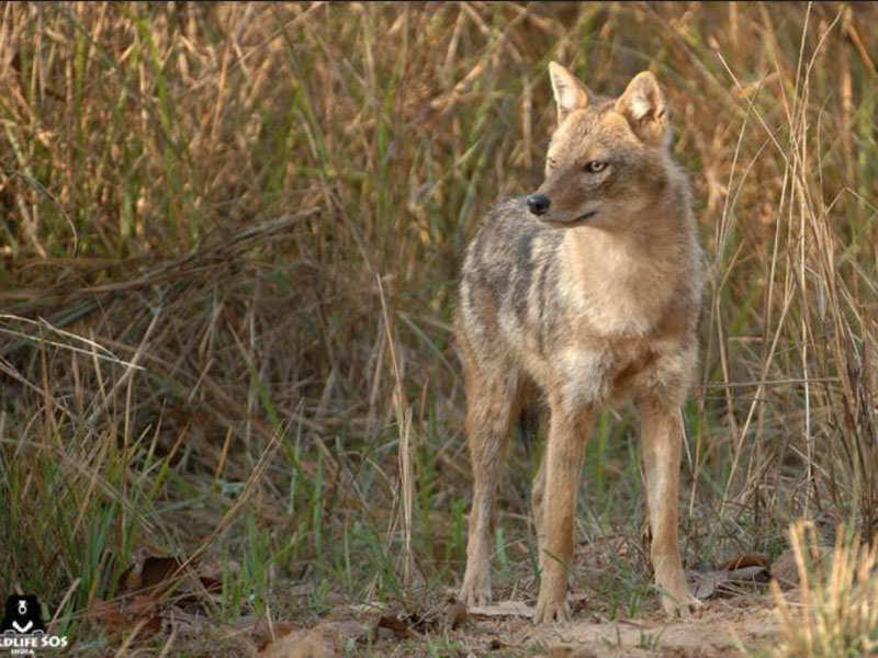 Golden jackal rescued from 40 ft deep well in Junnar - Times of India