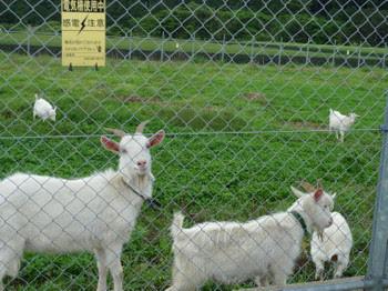 近所のヤギ