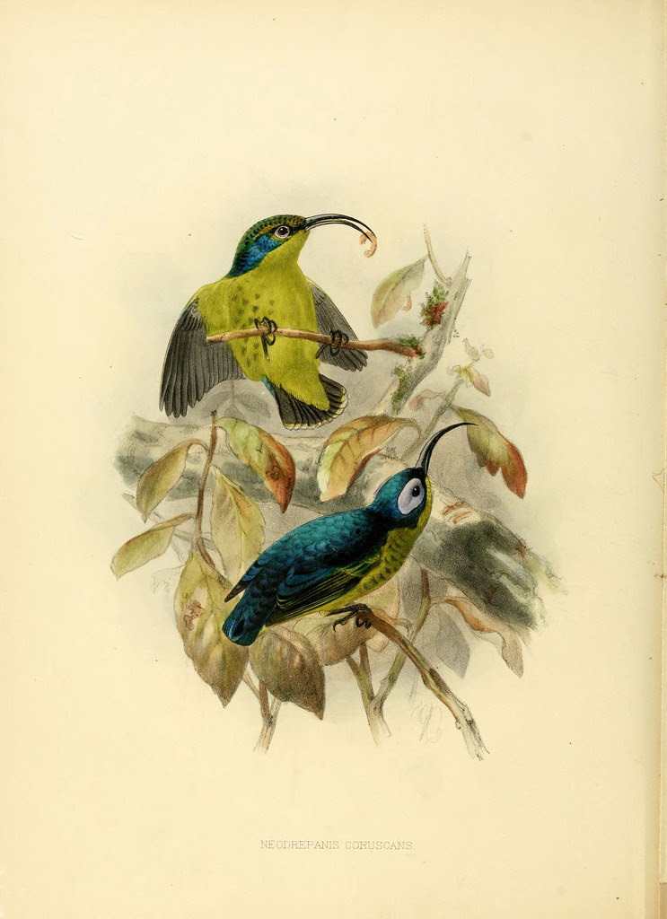 Common Sunbird-asity book lithograph by Shelley + Keulemans 1870s