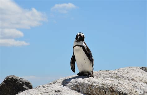 penguin wallpapers backgrounds images freecreatives