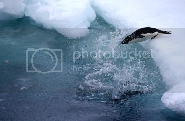 PJ Reddy and DMC-GH2 Catch Penguin in Mid-Dive!