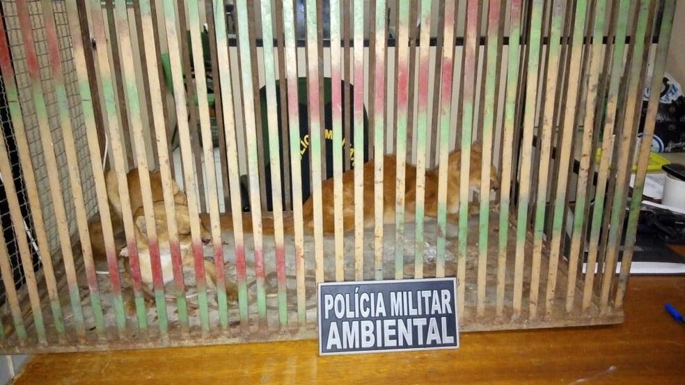 Polícia alerta que animais são perigosos e que não se deve tentar capturá-los  (Foto: PMA/Divulgação)
