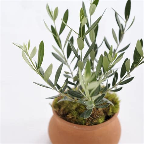 Mediterranean Olive Tree, All Gifts: Olive & Cocoa