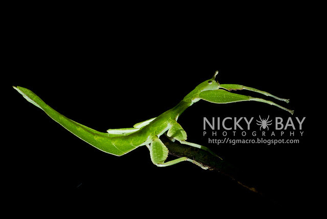 Gray's Leaf Insect (Phyllium bioculatum) - DSC_5051
