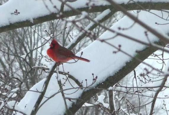Male cardinal in tree puffed against the cold HomeRome.com