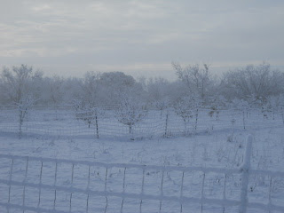 Snow on Orchard Trees