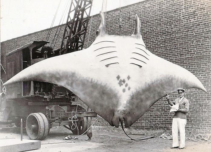 27 - Giant Oceanic Manta Ray