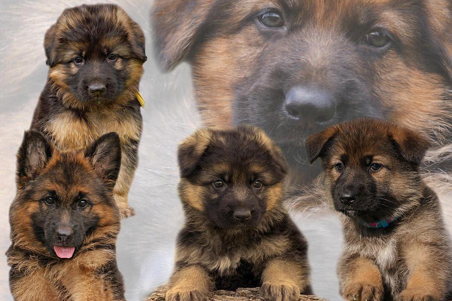 Baldur - German Shepherd Dog Puppy for sale | Euro Puppy