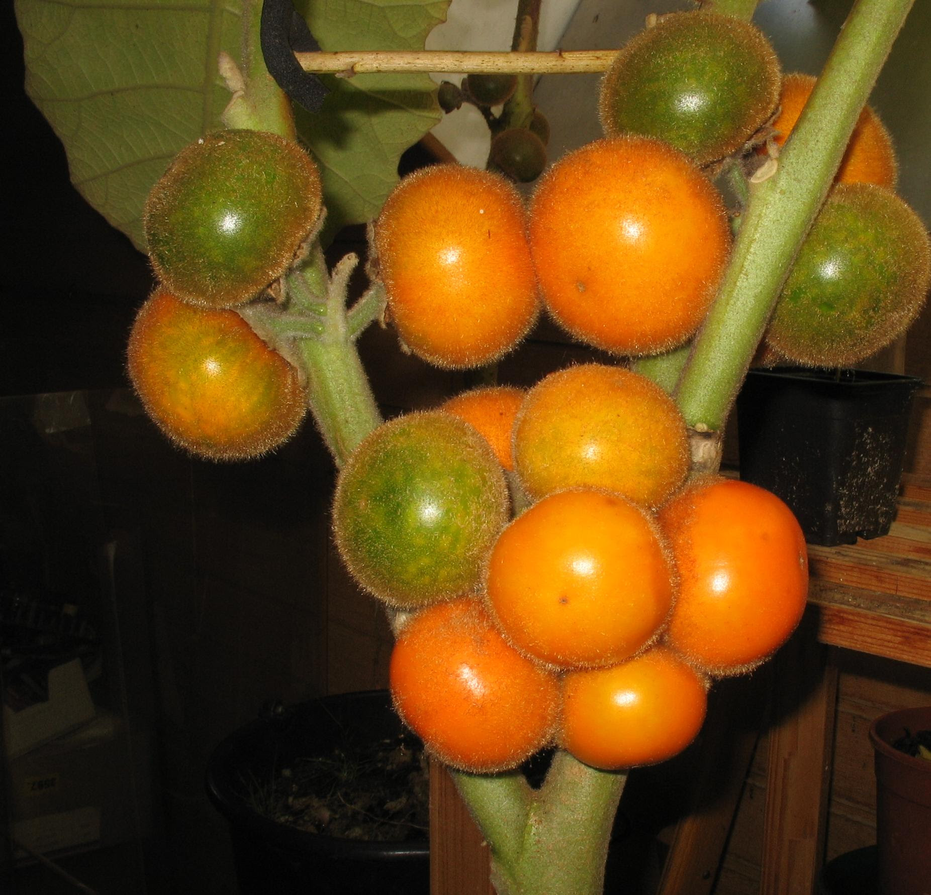 fruto do LULO, solanum quitoense