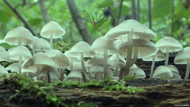 Hollie Rowling apresentou esta imagem de um opilião sobre cogumelos no bosque de Hillhouse, em Colchester, na categoria Bosques Antigos e Maravilhas Modernas.  (Foto: Hollie Rowling/BBC)