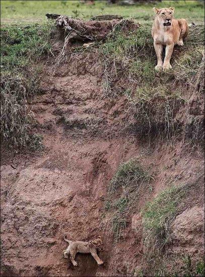 Διάσωση ενός μικρού λιονταριού (5pics)