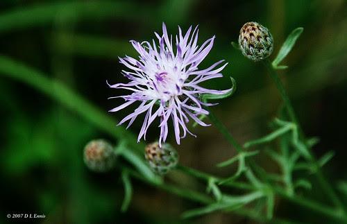 Bachelor's Button (Centaurea cyanus)