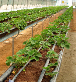 イノプレックスが合弁を仲介するインド企業は日本のイチゴ栽培技術を導入している(バンガロール市)