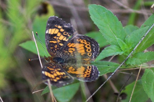 IMG_0966_Pearl_Crescent_Butterfly