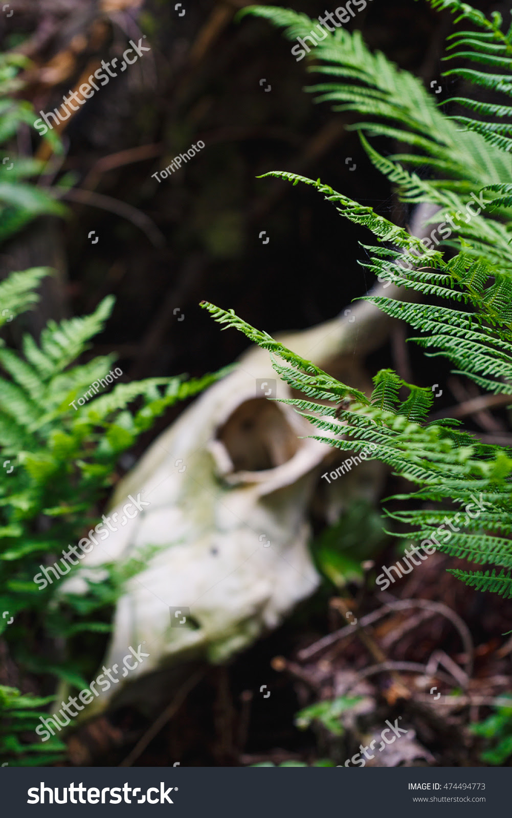 ancient, animal, autumn, autumnal, background, bone, bull, bush, close, closeup, color, cow, dead, death, deep, fade, fern, flora, foliage, forest, green, growth, grunge, halloween, horns, land, leaves, mist, natural, nature, old, outdoors, plant, rural, scary, skeleton, skull, tribal, vegetation, vintage, white, wild, wilderness, woods