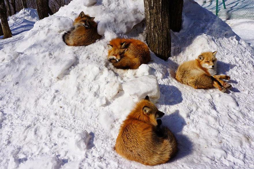 zao-fox-village-japan-15