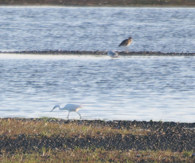 DSC_4326 Great White Egret