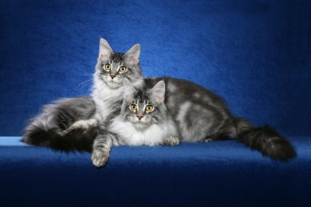 Maine coon cats pictures of cats