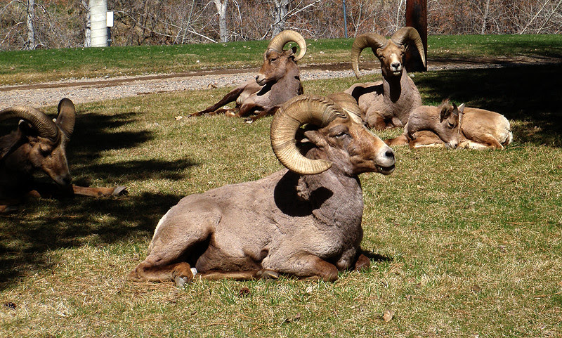 Bighorn rams and ewes savoring a warm spring day in upper Waterton Canyon.