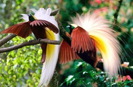 760+ Gambar Burung Cendrawasih Kuning Besar Terbaik