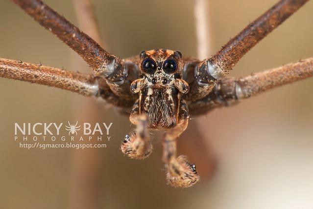 Net-Casting Spider (Deinopidae) - DSC_6127