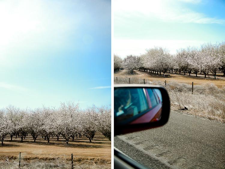 almond tree dip