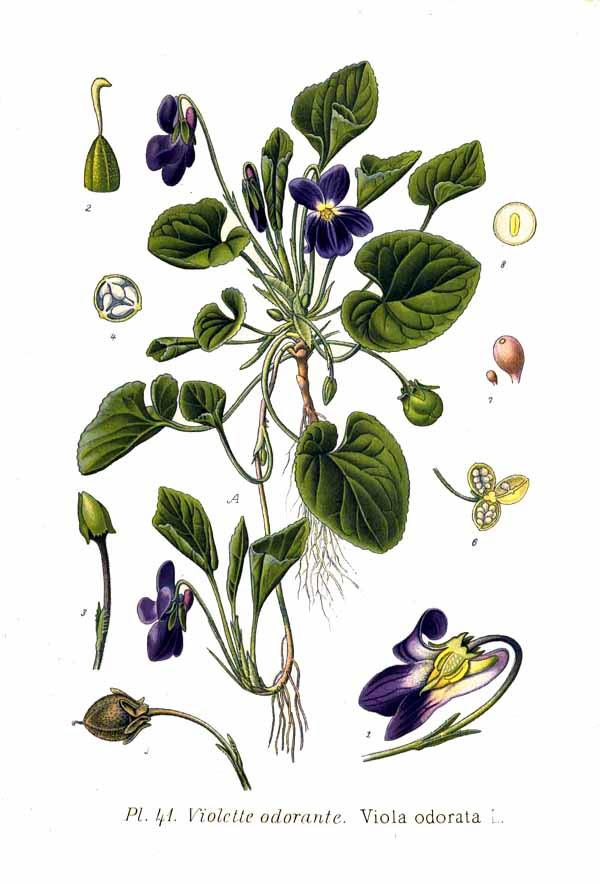 Ilustración antigua de la planta y flores de la viola odorata