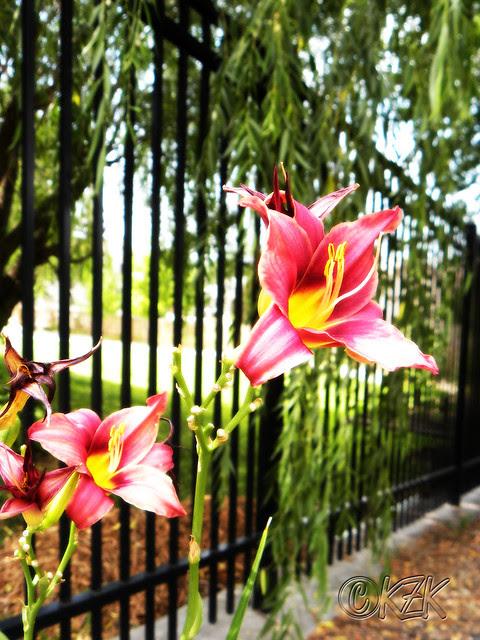 DSCN1941 Day Lilies