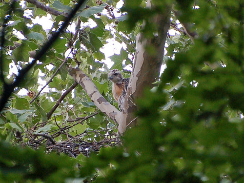 Highbridge Red-tail Nestling