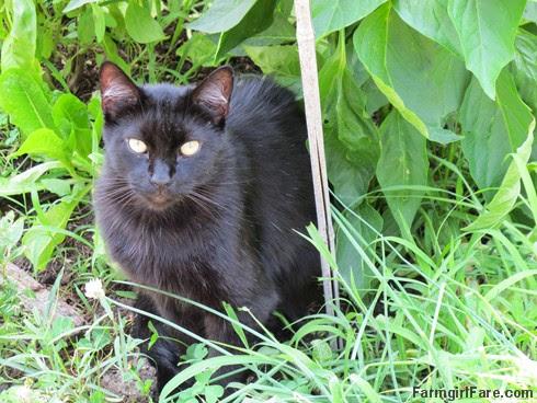 (2) Mr. Midnight in the kitchen garden - FarmgirlFare.com